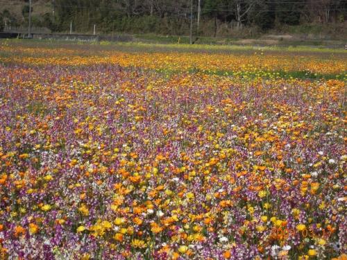 大規模花畑